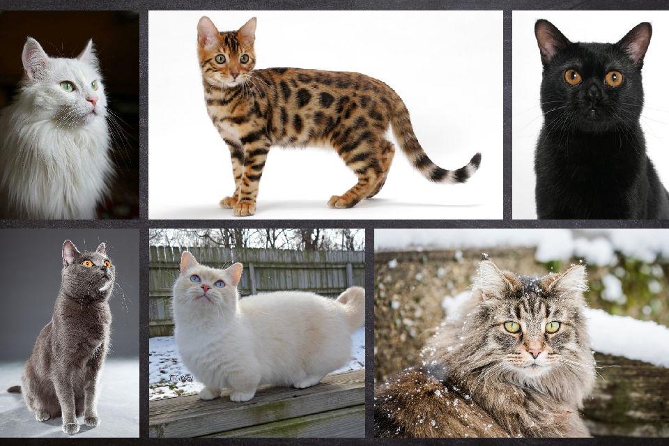 raça de gatos