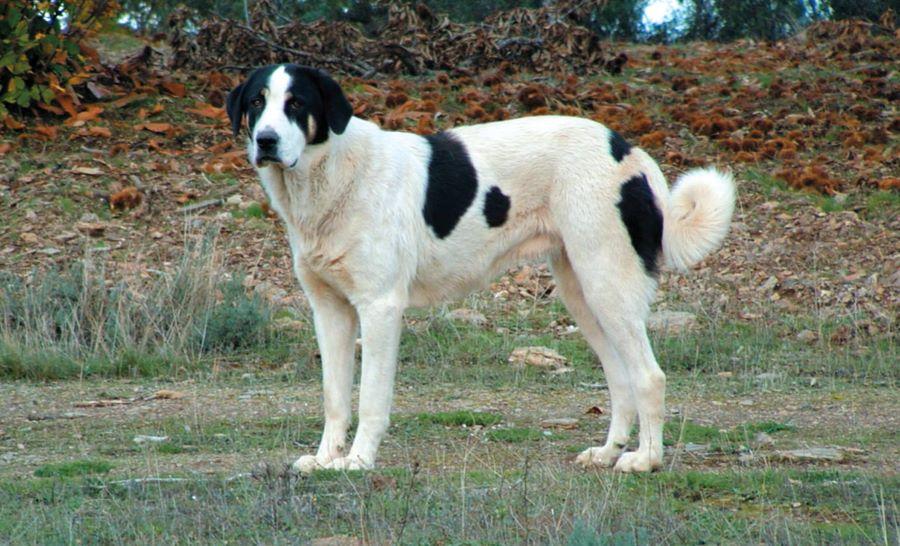 cão gado transmontano